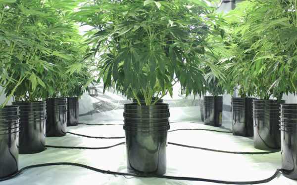 Marijuana plants growing indoors using hydroponics where you can rent a pot to grow your own weed